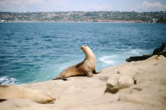 Sea Lions and Seals in La Jolla