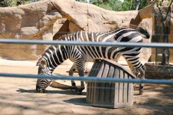 san diego zoo zebra