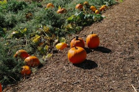 Pumpkins at Gilcrease Orchard
